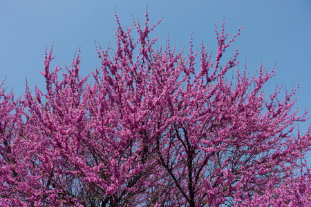 Flowering branches of Cercis canadensis against the sky Stock Photo