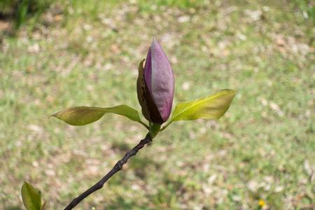 magnolia soulangeana: Close up of pink bud of Magnolia × soulangeana