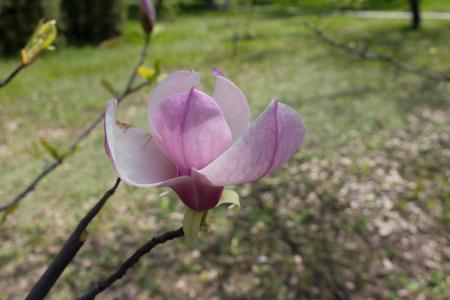 magnolia soulangeana: Close up of pink flower of Magnolia × soulangeana Stock Photo