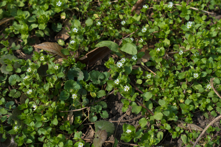 Small white flowers of common chickweed in spring