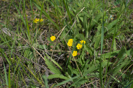Small yellow flowers of potentilla in the grass stock photo picture small yellow flowers of potentilla in the grass stock photo 79274048 mightylinksfo