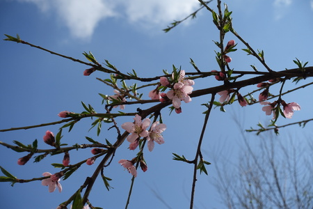 Pink flowers and green leaves on peach-tree branches Stock Photo