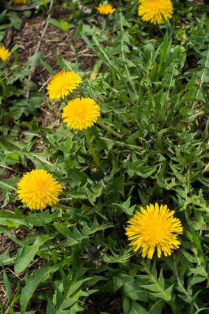 봄에서 초원에 일반적인 민들레 꽃 스톡 콘텐츠