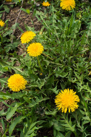 Common dandelion flowers in the meadow in spring