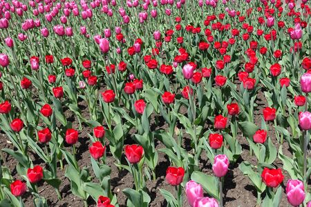 bulbous: Pink and red tulips in full bloom