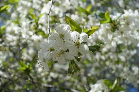 Corymb of white flowers of cherry in spring Stock Photo