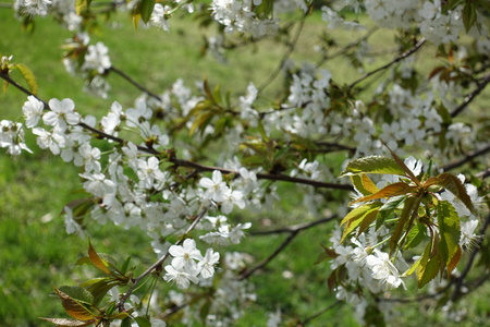 Branches of cherry with fresh leaves and flowers