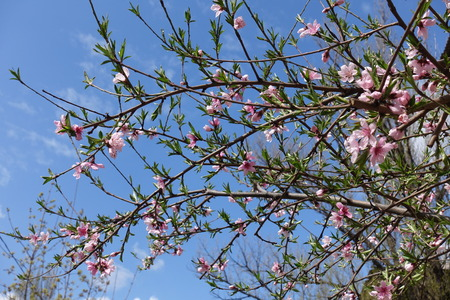 Blossoming branches of peach against the sky