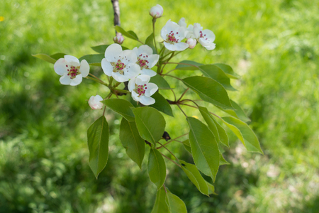 Blossoming pear tree branch above green grass