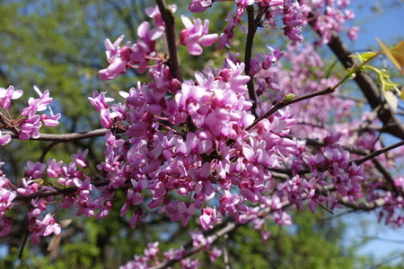 Close up of dense pink flowers of cercis