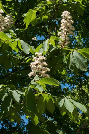 Horse chestnut blossom against the sky in spring