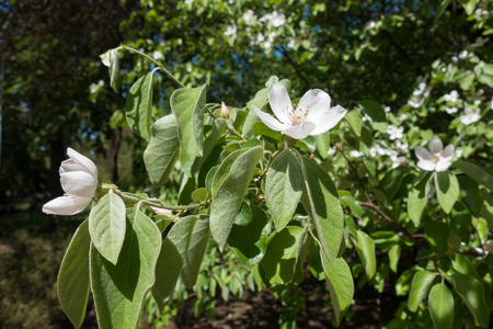 pubescent: Blossoming quince branches with green  pubescent leaves