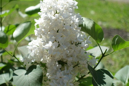 Close up of four lobed white lilac flowers