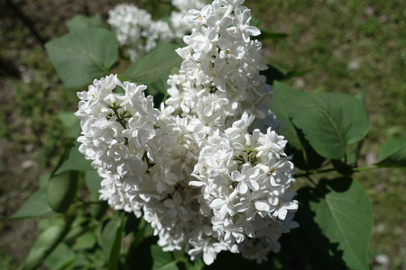 Close up of three panicles of white lilac flowers Stock Photo