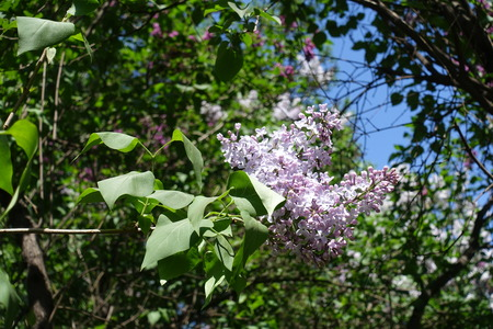Branch of lilac with two panicles in spring Stock Photo