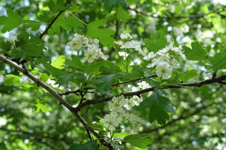 Corymb of small white flowers of Crataegus in spring