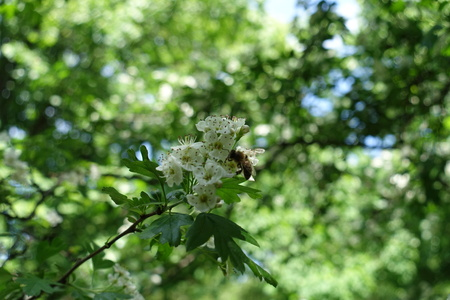 Honey bee pollinating flowering Crataegus shrub in spring Stock Photo