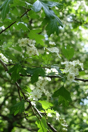 White hawthorn bush flowers blossoming in may. Stock Photo