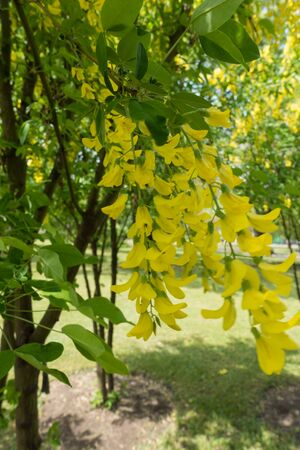 pubescent: Racemes of golden flowers of Laburnum anagyroides