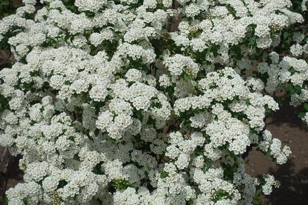 Biene, Die Weiße Blumen Des Weißdornbaums Bestäubt Lizenzfreie Fotos ...