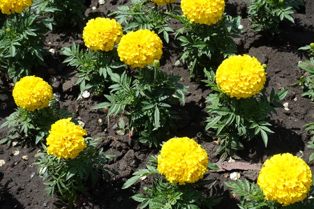 Yellow flowers of marigold in the flowerbed