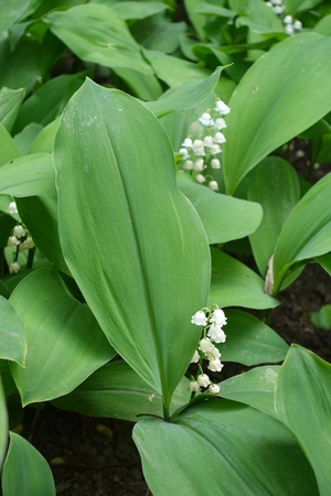 Small bell shaped Convallaria flowers among green leaves