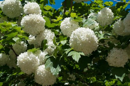 Globular flower heads of snow ball bush Stock Photo