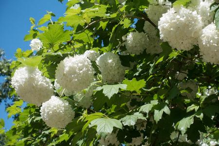 Snowball cultivar of guelder rose in bloom