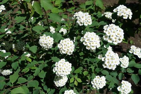 Showy Cluster Von Dichten Weißen Blüten Von Spiraea Lizenzfreie ...
