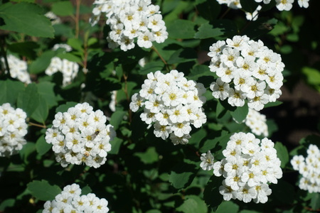 Dense clusters of white flowers of spirea stock photo picture and dense clusters of white flowers of spirea stock photo 85698355 mightylinksfo