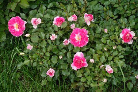 Bright deep pink flowers of garden rose stock photo picture and bright deep pink flowers of garden rose stock photo 85014874 mightylinksfo