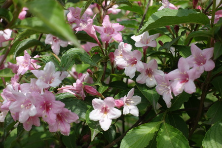 Flowering branch of weigela in late spring Stock Photo