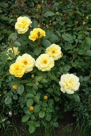 sharp: Pastel golden flowers of common garden rose Stock Photo