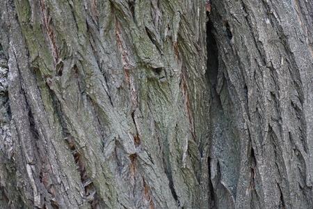 exasperate: Blue grey surface of old tree bark Stock Photo
