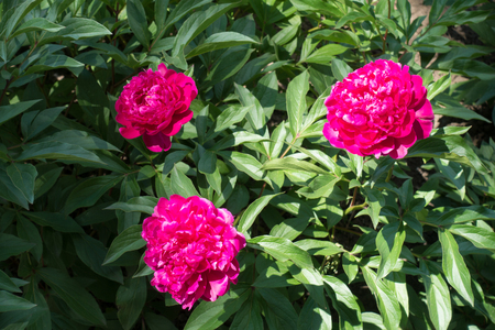 Group of three bright pink peony flowers