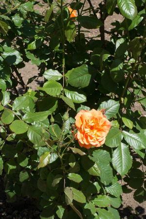 One apricot colored double garden rose flower