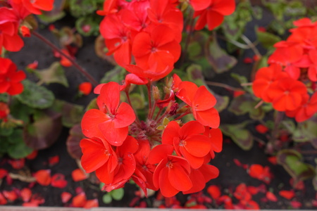 Closeup of red flowers of zonal pelargonium