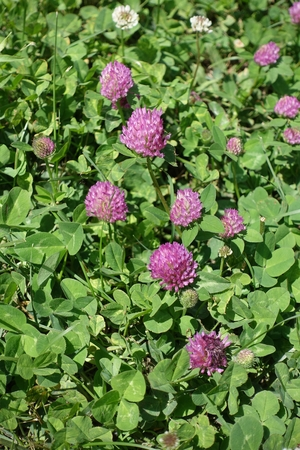 red clover: Dense inflorescences of pink flowers of Trifolium pratense
