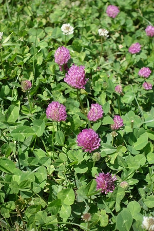 red clover: Pink flower heads of red clover in the grass