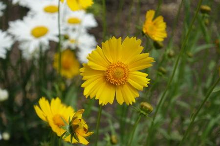 Close up of yellow flower of Coreopsis Lanceolata Stock Photo