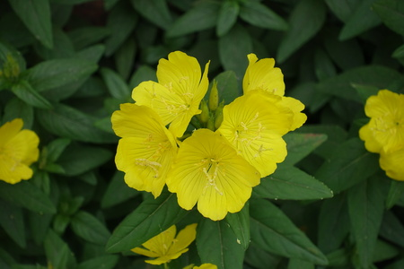 Cup shaped yellow flowers of evening primrose Banco de Imagens