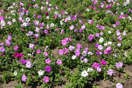 Flowering petunias in the flowerbed in June