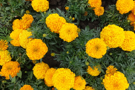 Flower heads of orange Tagetes erecta from above