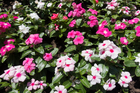 Colorful flowers of Madagascar periwinkle in summer