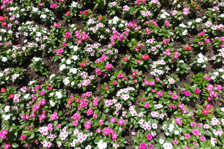 Flowerbed with multicolored flowers of Madagascar periwinkle Stock Photo