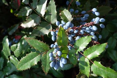 オレゴン・ホリー・ブドウの緑の葉の中の青い果実 写真素材