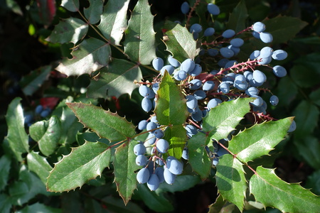 Blue berries among green leaves of Oregon holly-grape