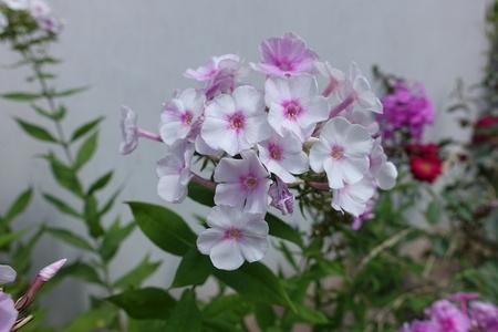 Panicle of white flowers of Phlox paniculata