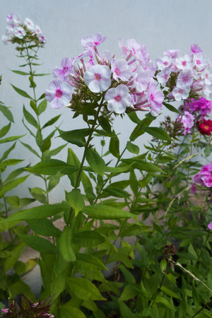 Slender green stem of Phlox paniculata with simple leaves and pale flowers