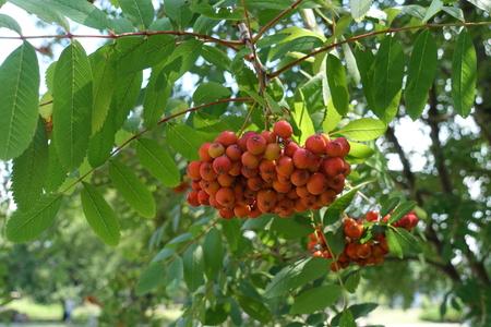 Pinnate leaves and orange berries of mountain ash